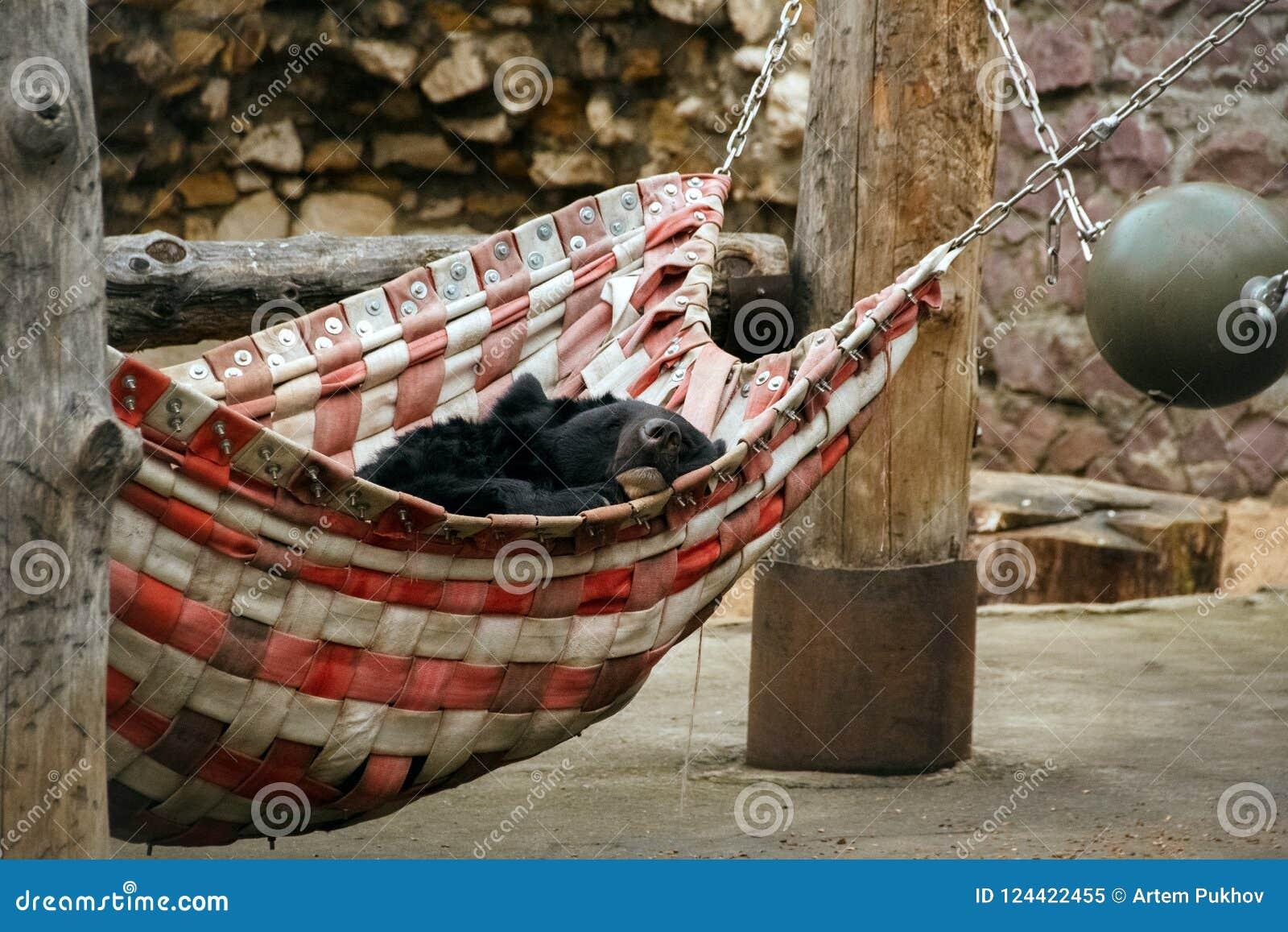睡觉在莫斯科动物园里的亚洲黑熊
