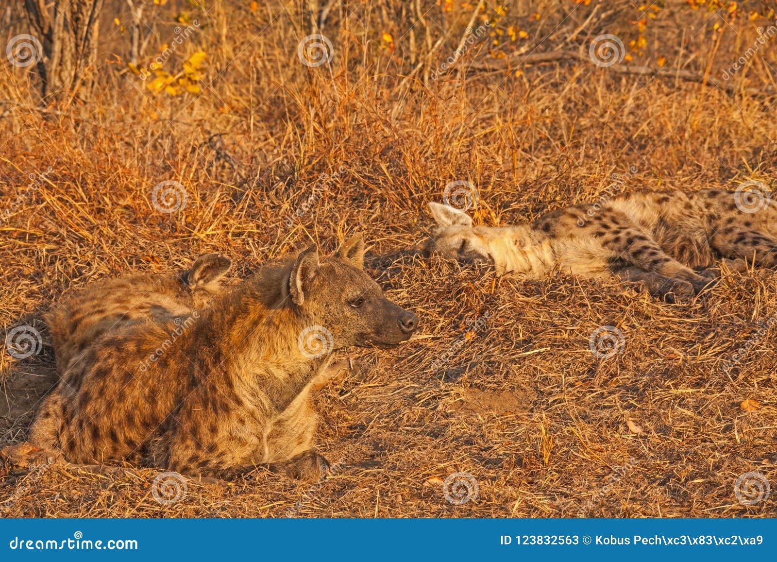 睡觉鬣狗在克留格尔国家公园 南非4