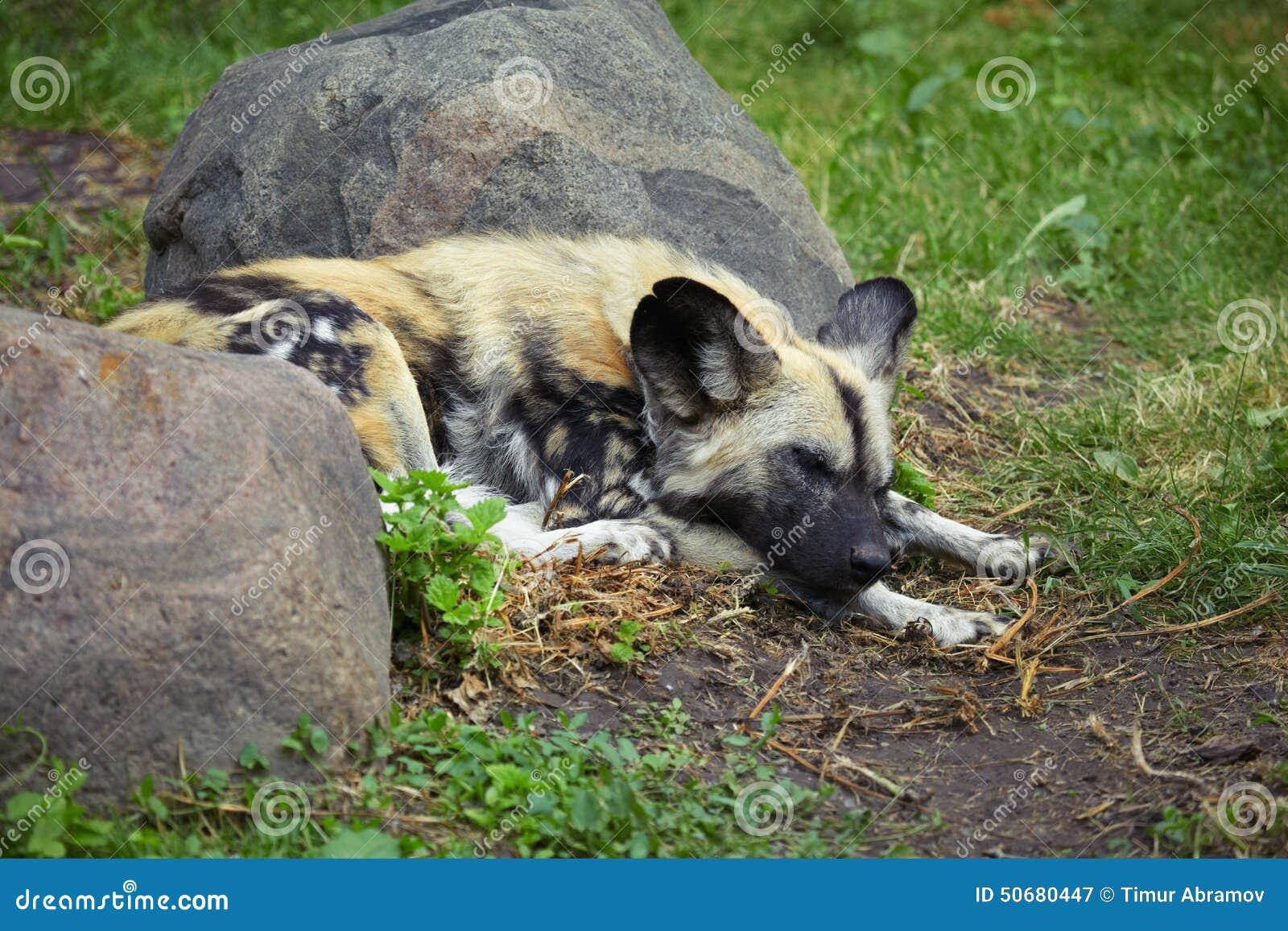 Download 睡觉鬣狗 库存图片. 图片 包括有 草甸, 户外, 水平, 冰砾, 鬣狗, 眼睛, 国家, 绿色, 闹事 - 50680447
