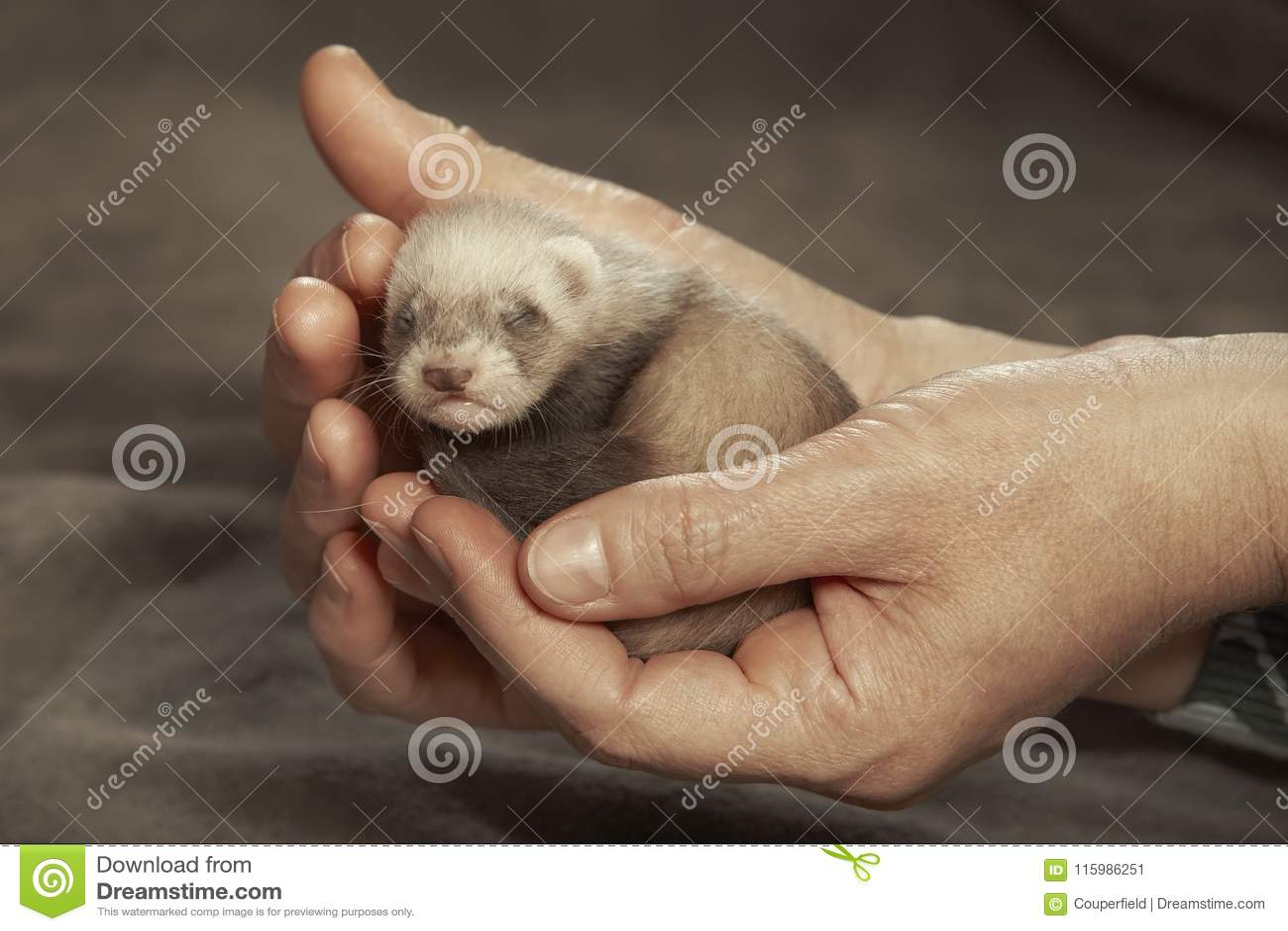 瞎的白鼬婴孩在人的交配动物者手上