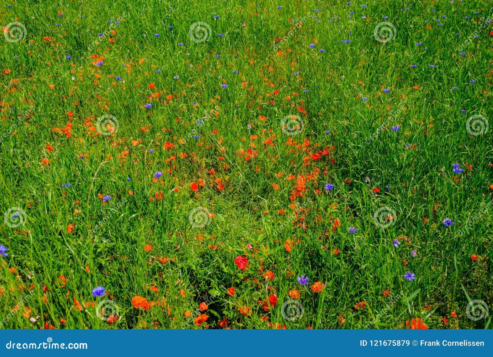 矢车菊和鸦片在领域花束
