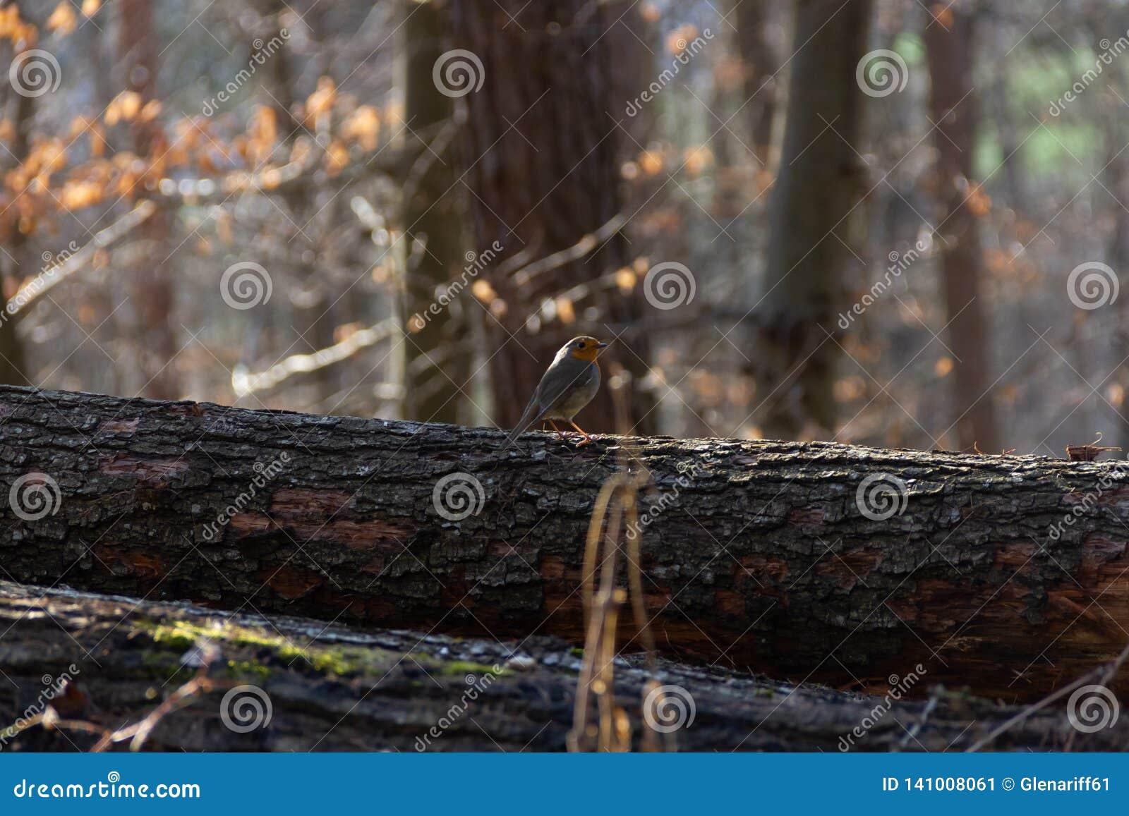 知更鸟在森林里