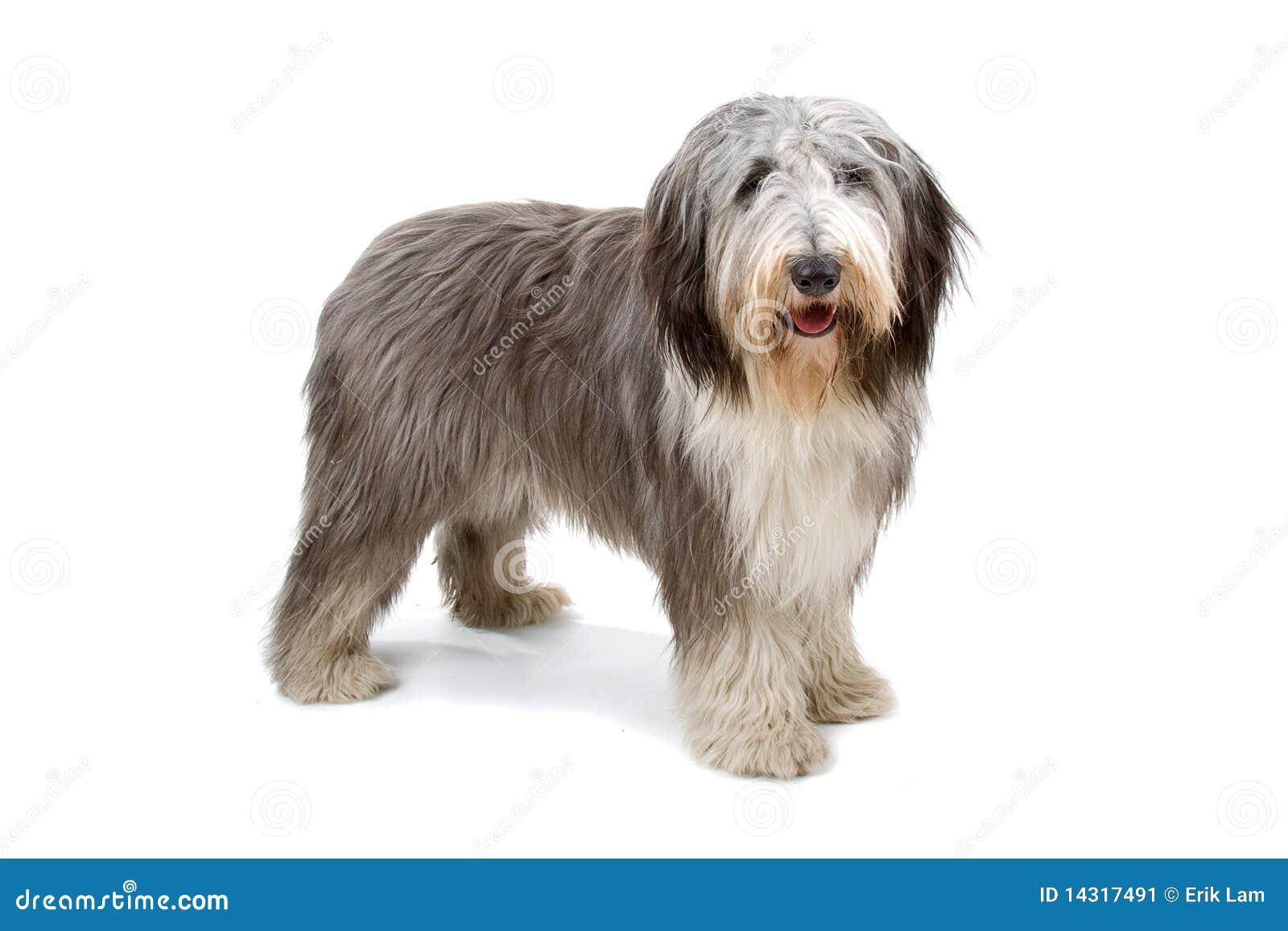 短尾的英国老护羊狗