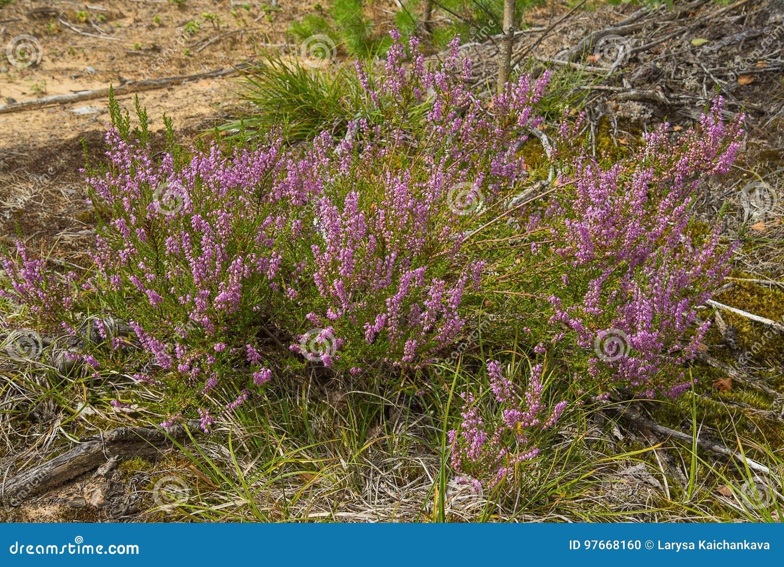 石南花紫色花