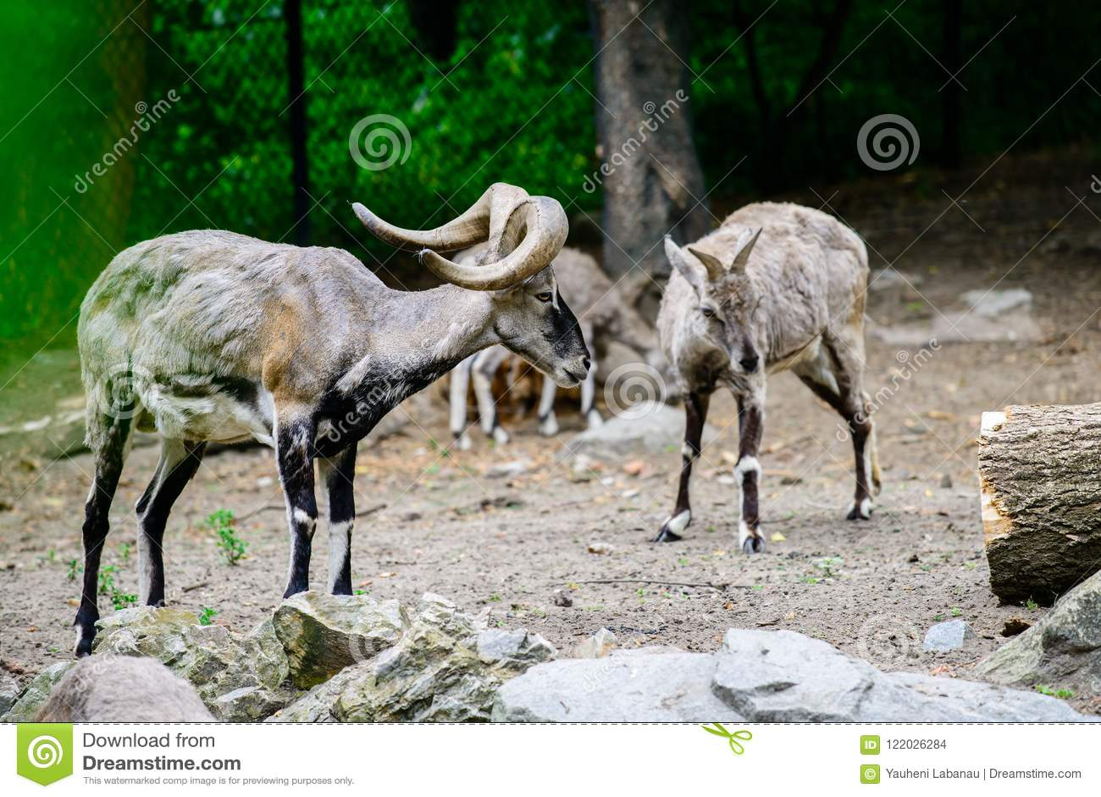石山羊在动物园里