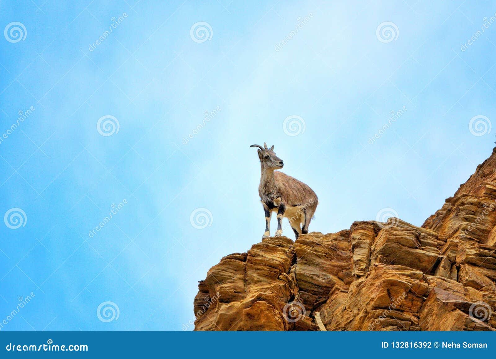 石山羊在莱赫,