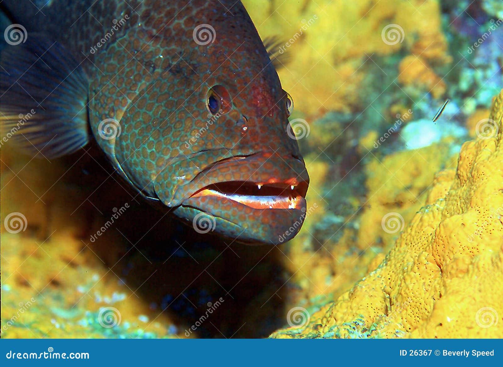 石斑鱼ii老虎
