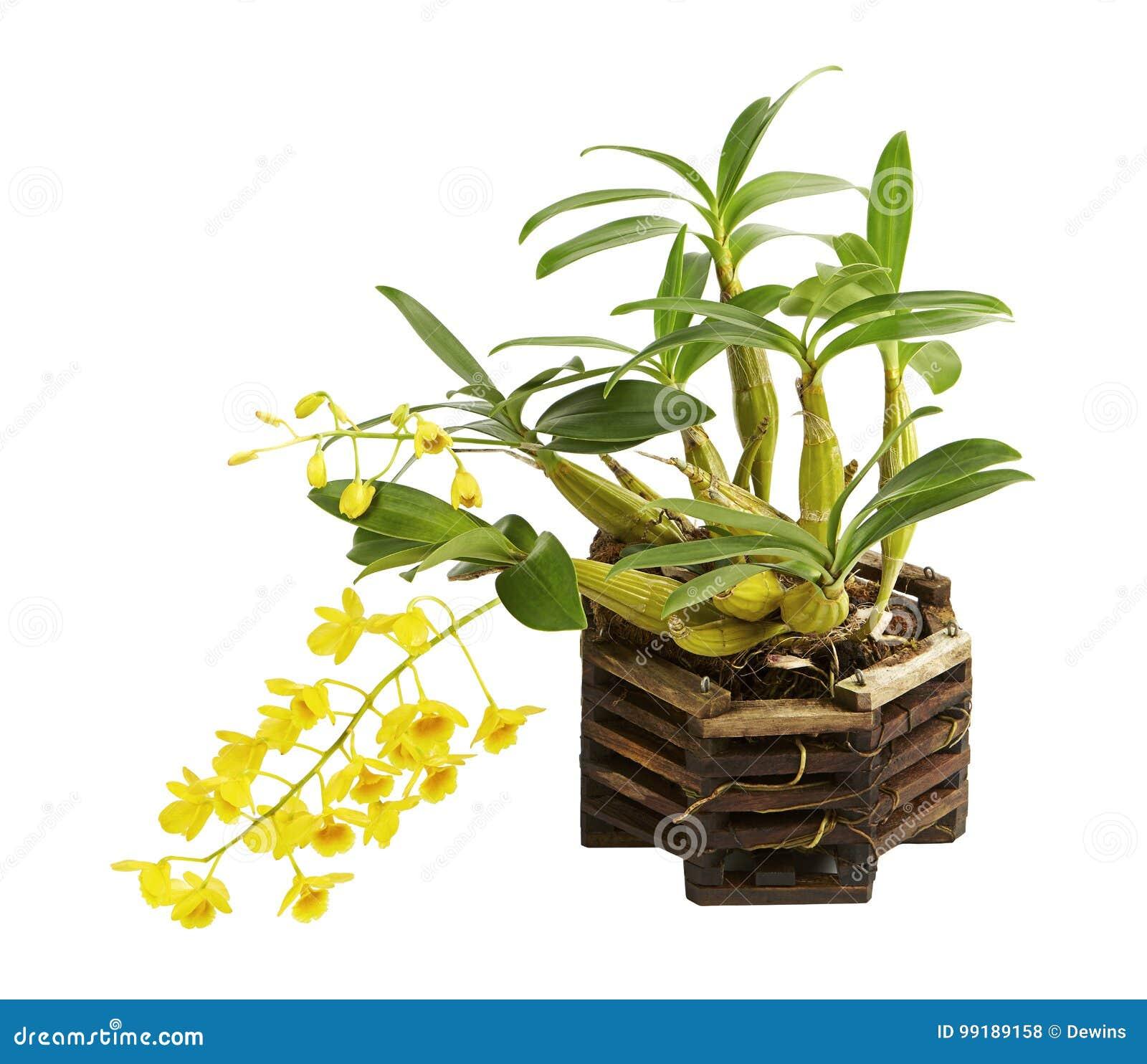 石斛兰属lindleyi、野生黄色兰花与pseudobulb和叶子在木兰花篮子,隔绝在白色背景