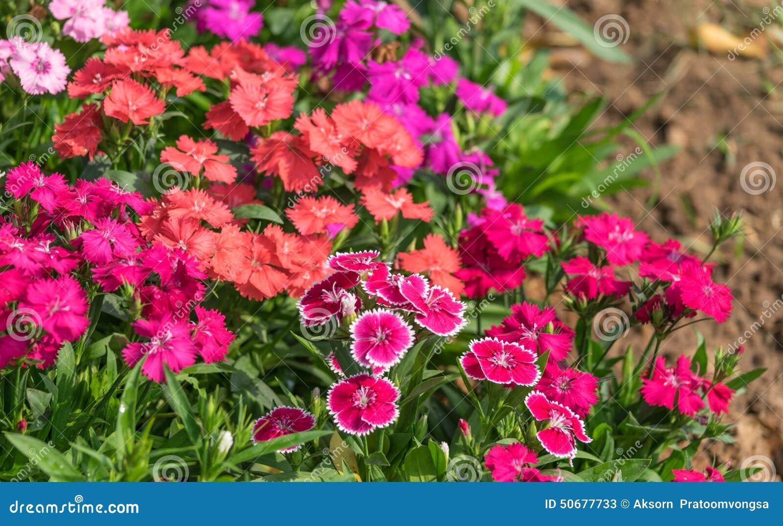 Download 石竹中华的花 库存图片. 图片 包括有 五颜六色, 四季不断, 庭院, 绿色, 精美, 详细资料, 雏菊 - 50677733