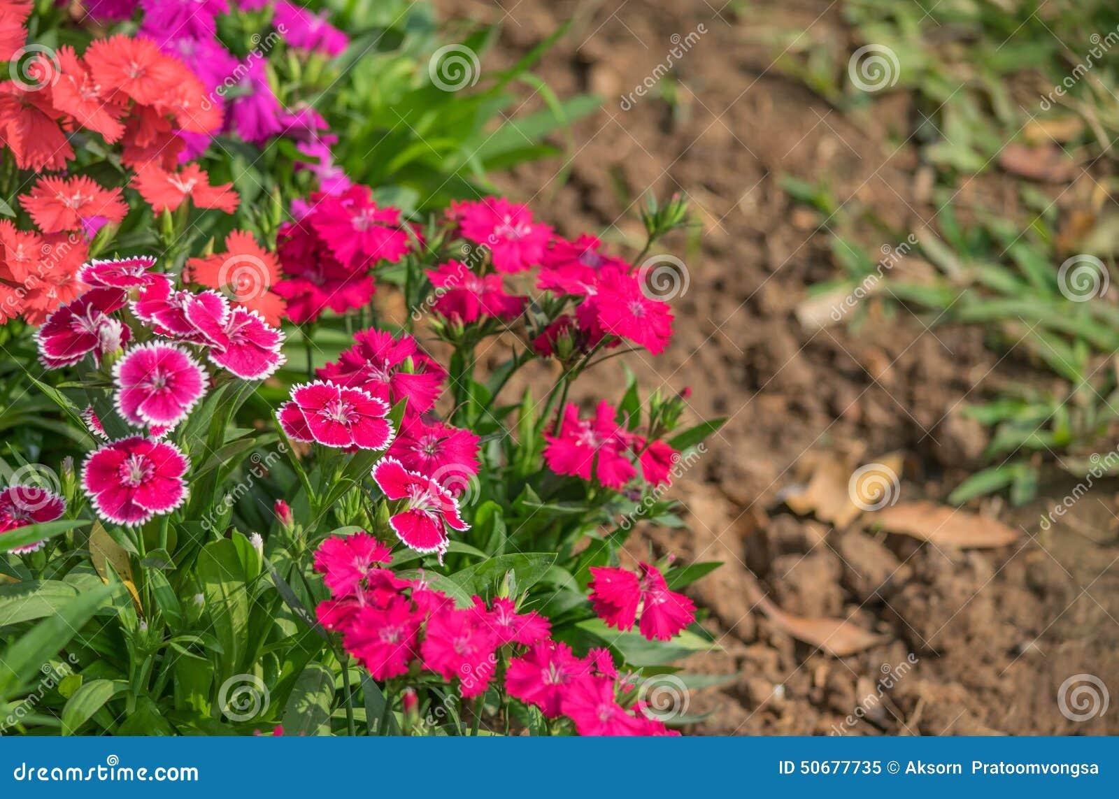 Download 石竹中华的花 库存图片. 图片 包括有 本质, 精美, 绿色, 雏菊, 五颜六色, 绽放, 对象, 关闭 - 50677735
