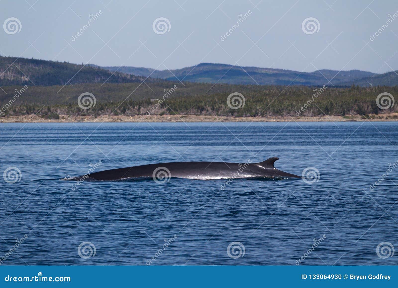 破坏在水域中的Humpack鲸鱼在离纽芬兰的附近,加拿大海岸