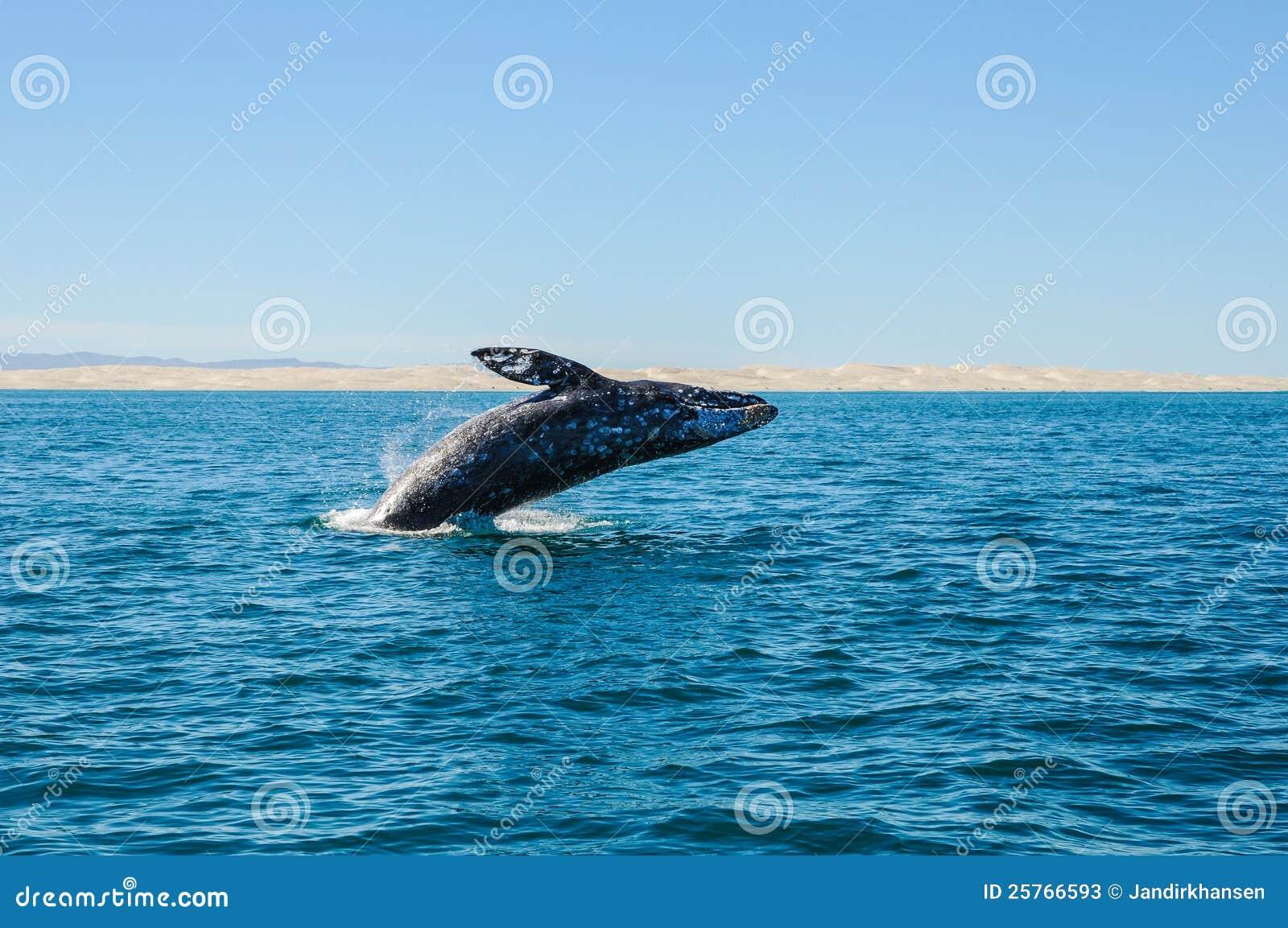 破坏灰鲸科(灰鲸科robustus)
