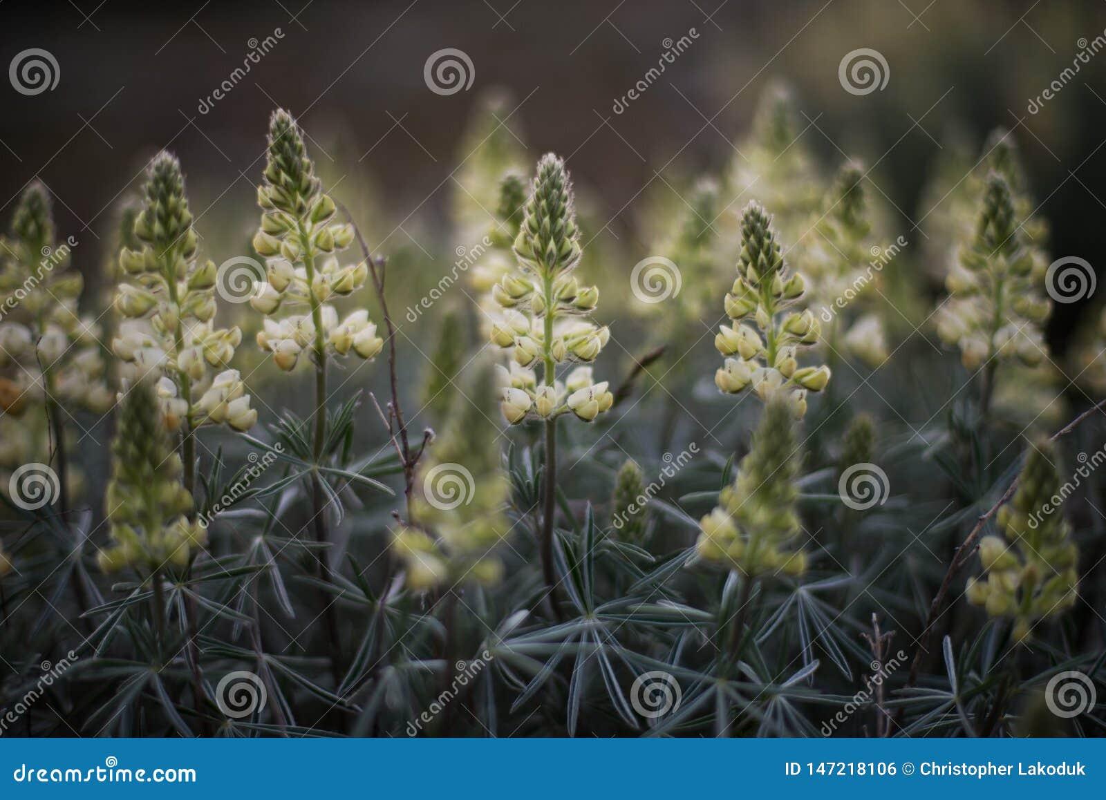 硫磺凶猛野花
