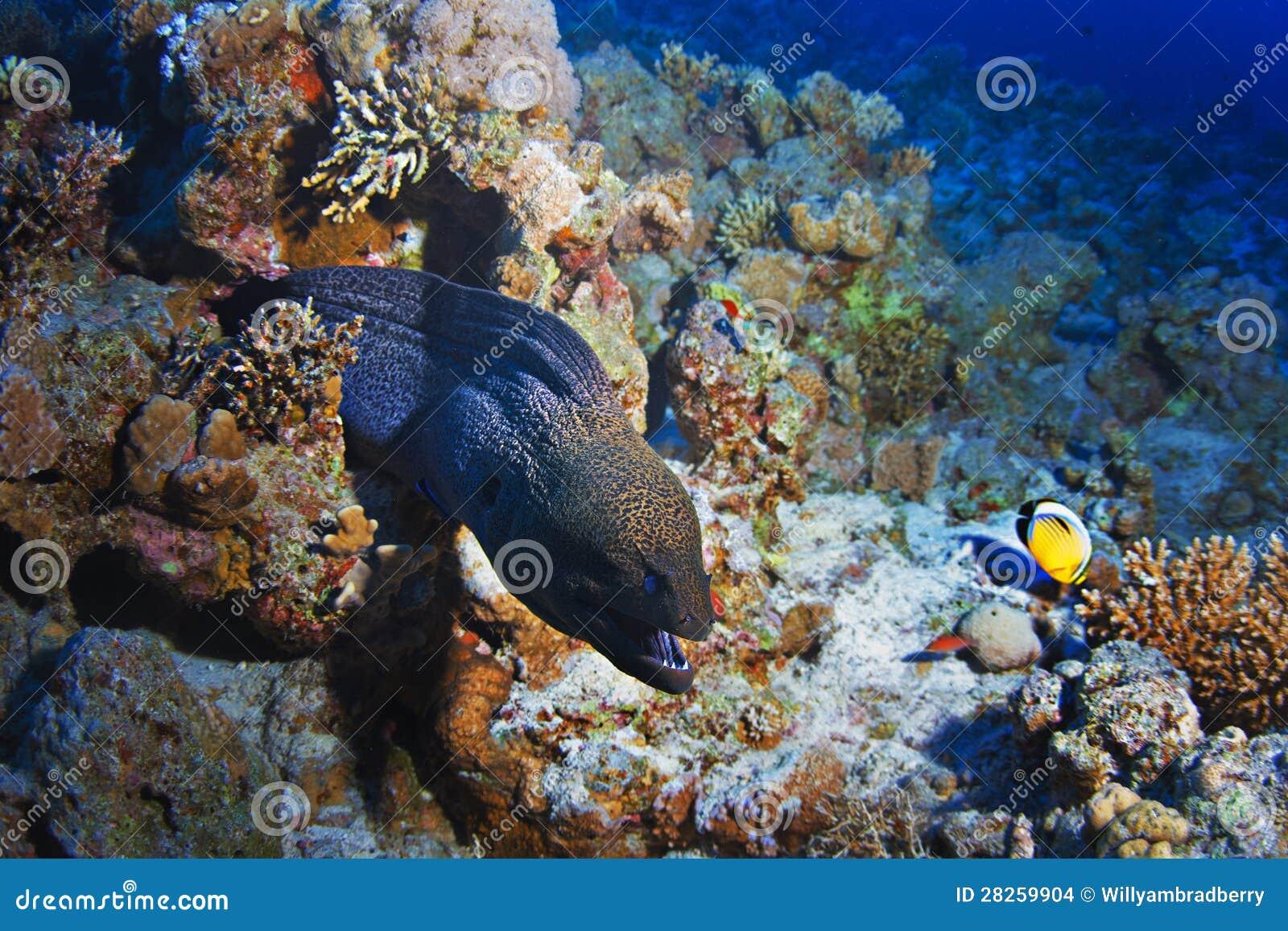 礁石用巨型灰色海鳝和鱼