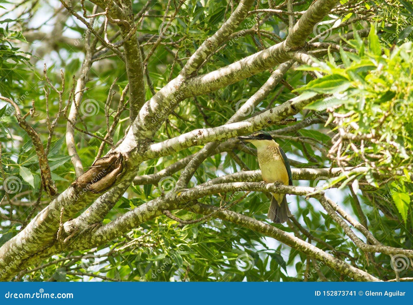 神圣的翠鸟odiramphus sanctus Vigors &贺斯菲特,1827在树