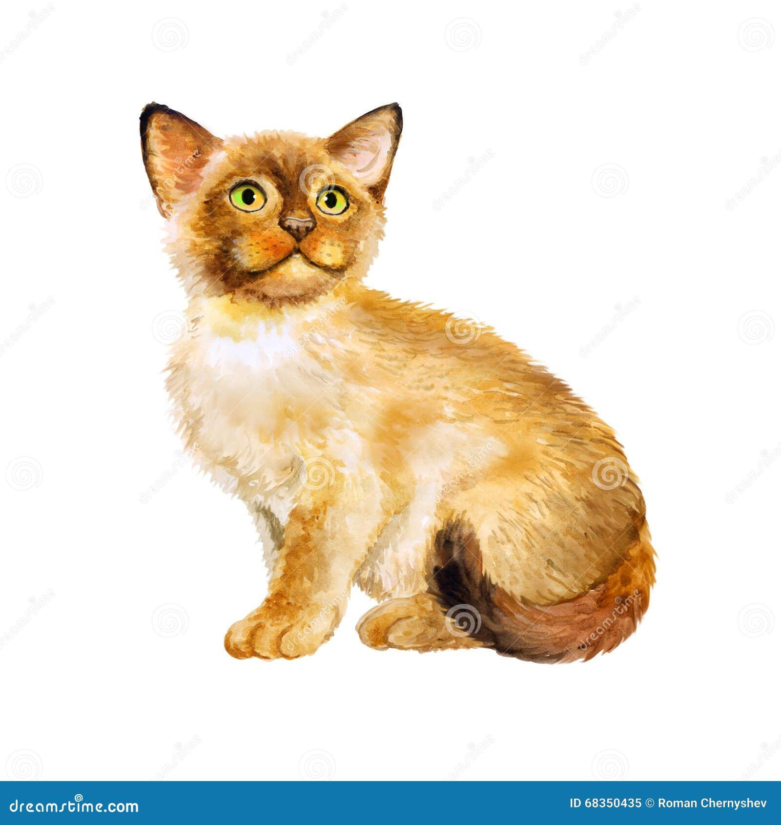 神圣的birman小猫,缅甸的神圣的猫水彩画象白色背景的图片