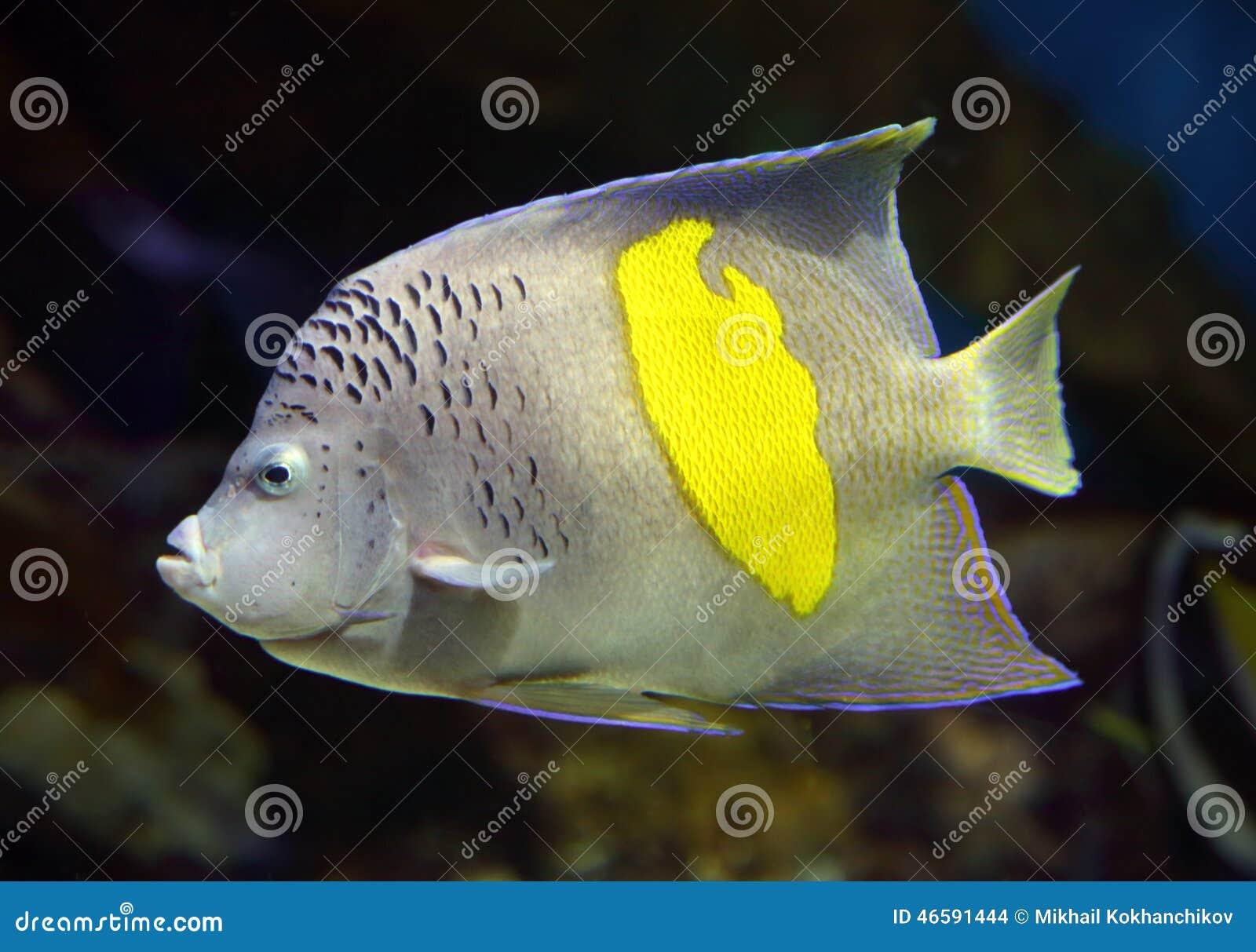 神仙鱼- Pomacanthus, maculosus