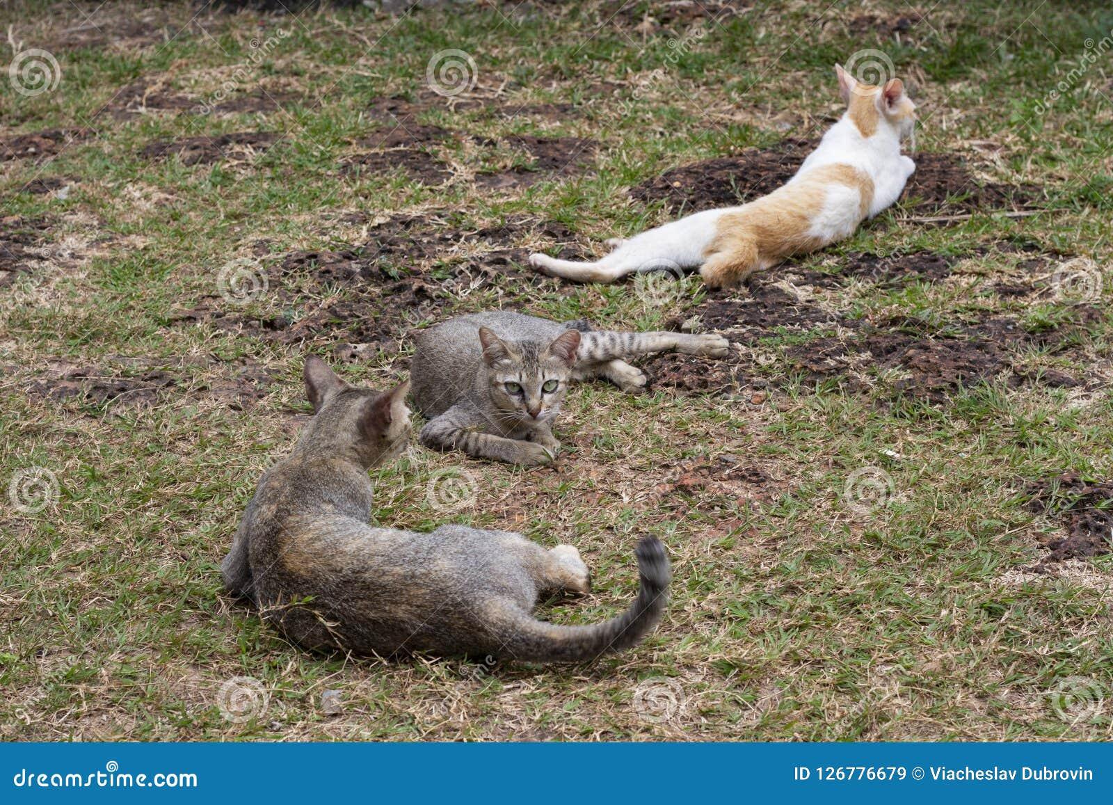 离群猫在绿草放松并且使用 在夏天草坪的无家可归的猫科 对照相机的绿眼的棕色猫神色