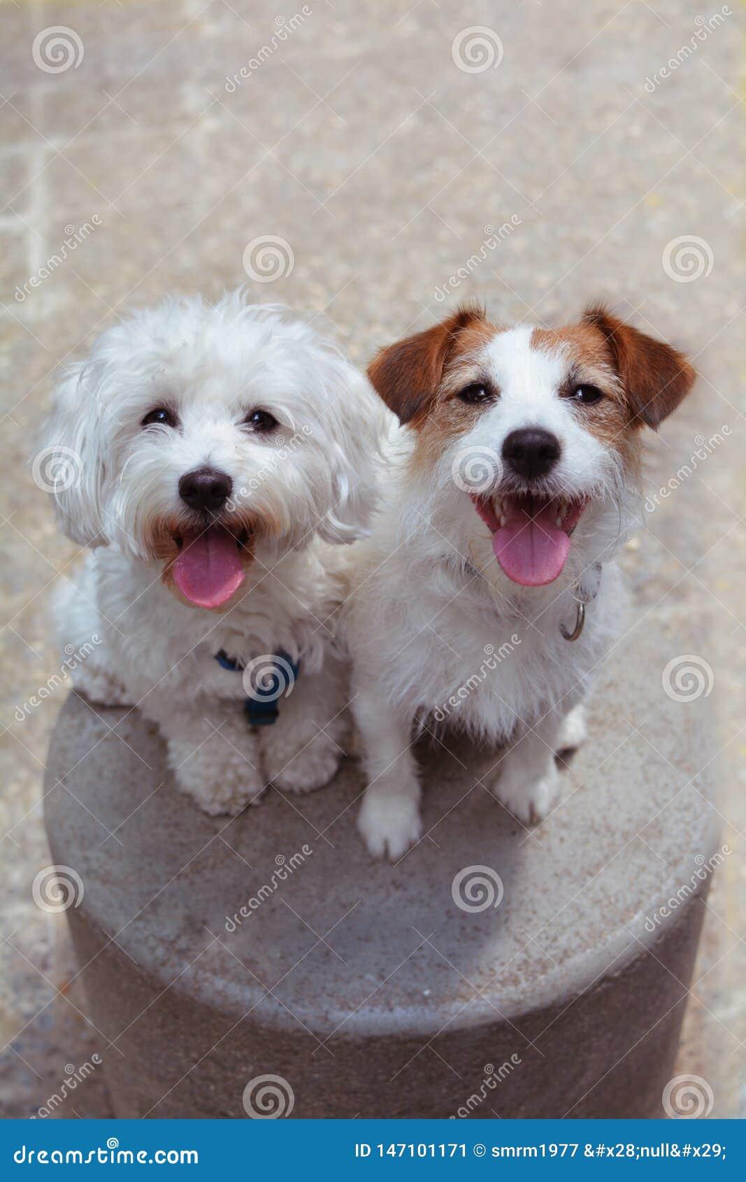 秀手旁观和黏附舌头的画象两愉快的狗