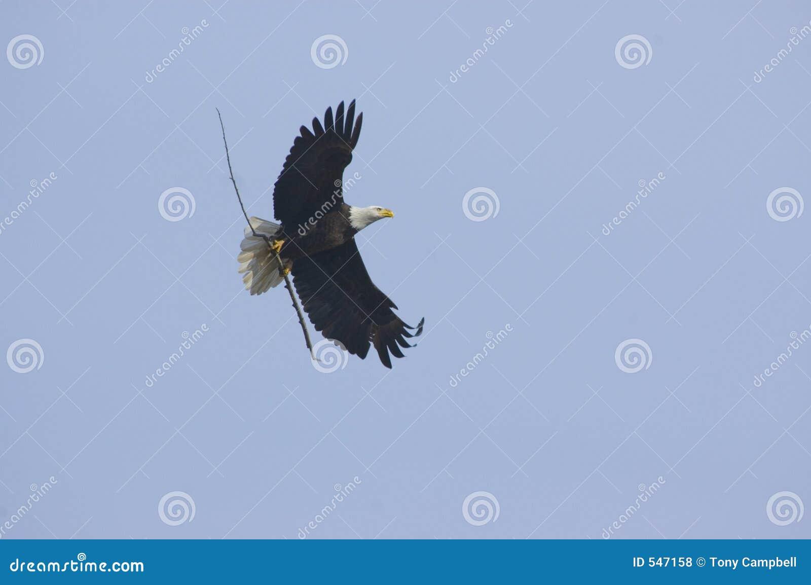 Download 秃头带来的老鹰嵌套棍子 库存照片. 图片 包括有 牺牲者, brander, 被平衡的, 双翼飞机, 棍子, 羽毛 - 547158