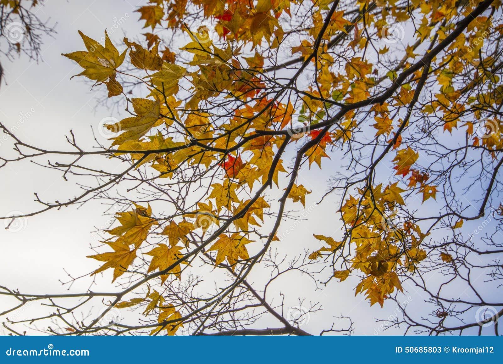 Download 秋叶在日本 库存图片. 图片 包括有 日本, 本质, 季节, 照亮, 结构树, 要素, 槭树, 红色, beauvoir - 50685803