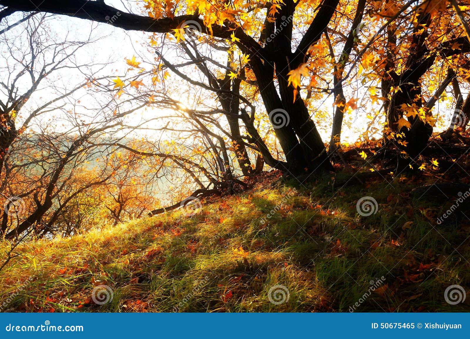 Download 秋叶日出 库存图片. 图片 包括有 叶子, 森林, 风景, 金黄, 城市, 蓝色, 公园, 天空, 航空 - 50675465