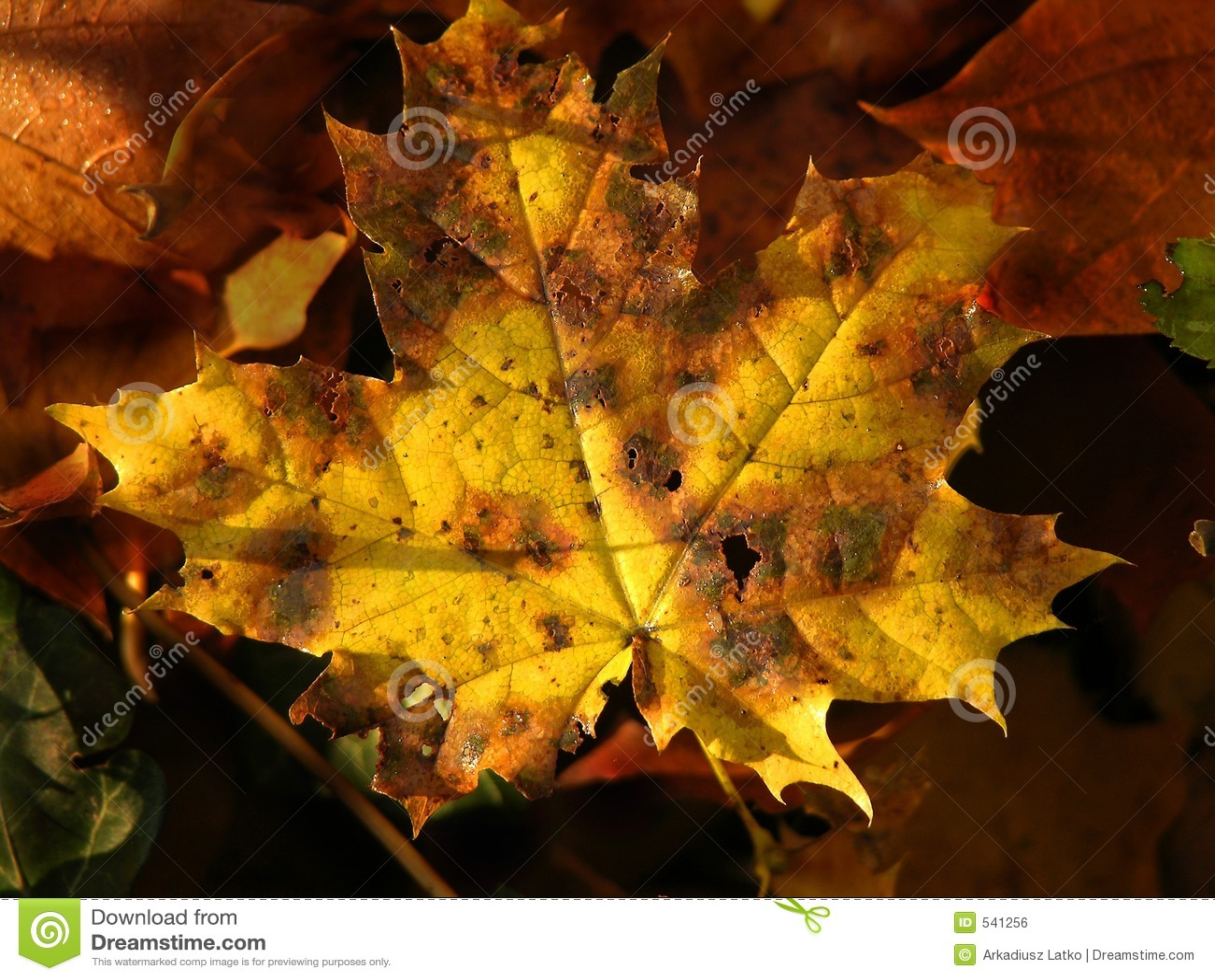 Download 秋叶黄色 库存照片. 图片 包括有 秋天, 红色, 结构树, 晒裂, 词根, 高级, 增长, 成熟, 本质, 橙色 - 541256