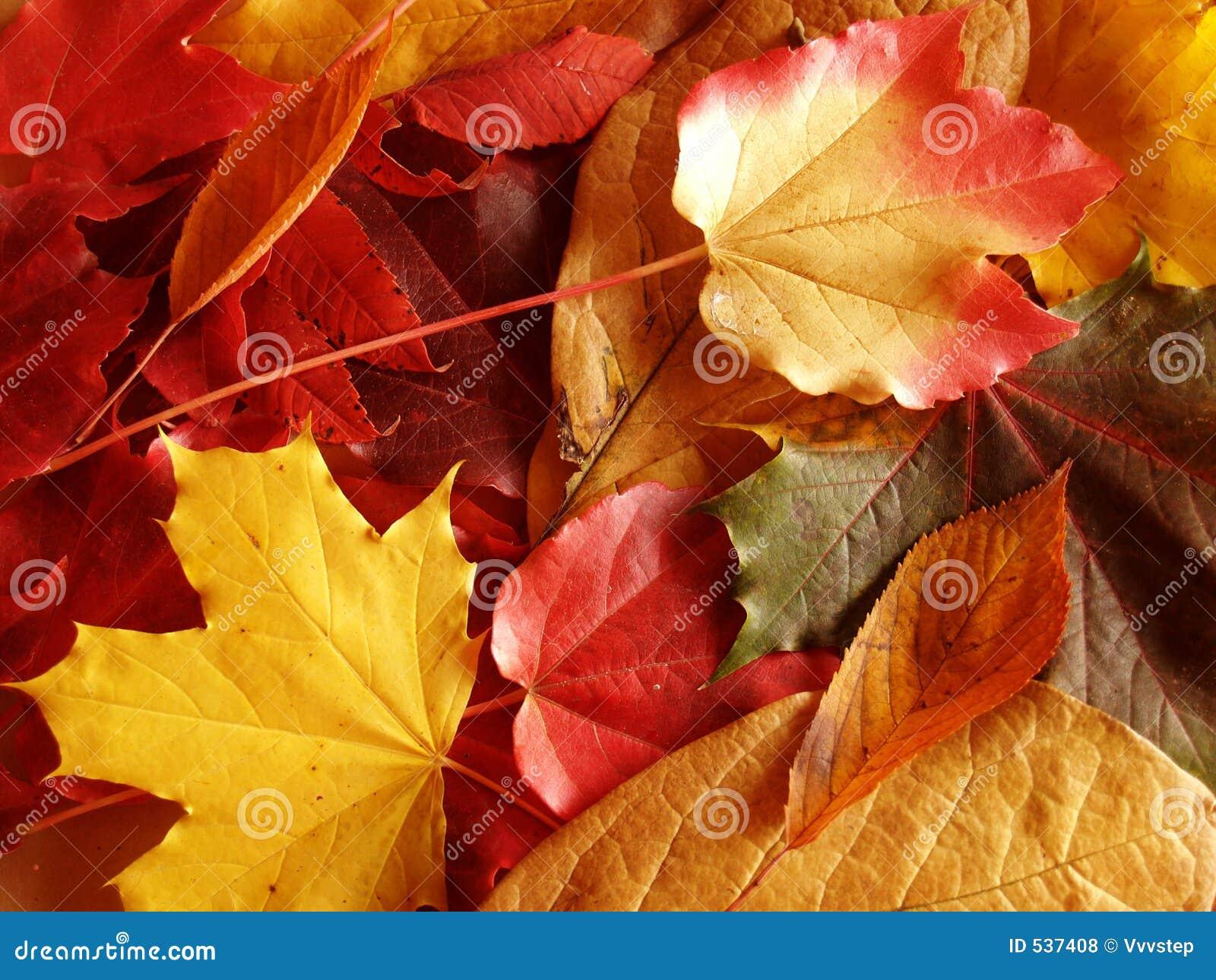Download 秋叶 库存照片. 图片 包括有 本质, 叶子, 秋天, 红色, 工厂, 自治权, 柏油的, 衰老, 皇族, 颜色 - 537408