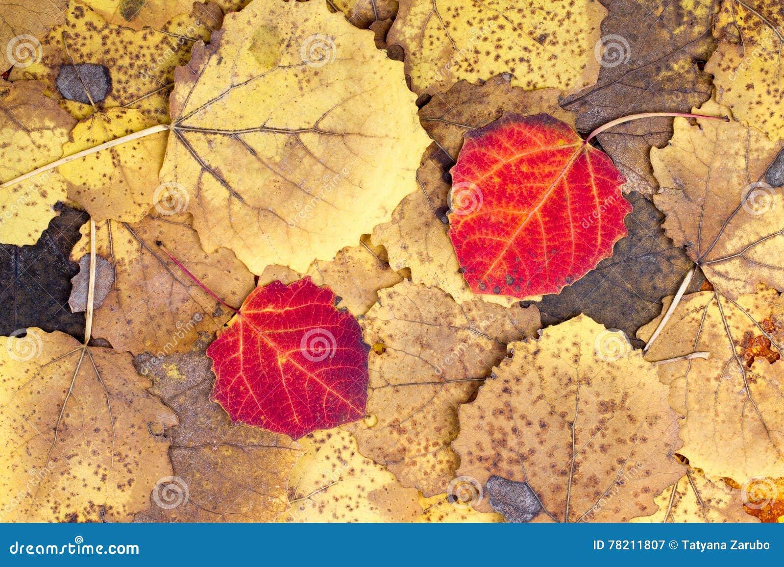 从秋天五颜六色的白杨木叶子的背景
