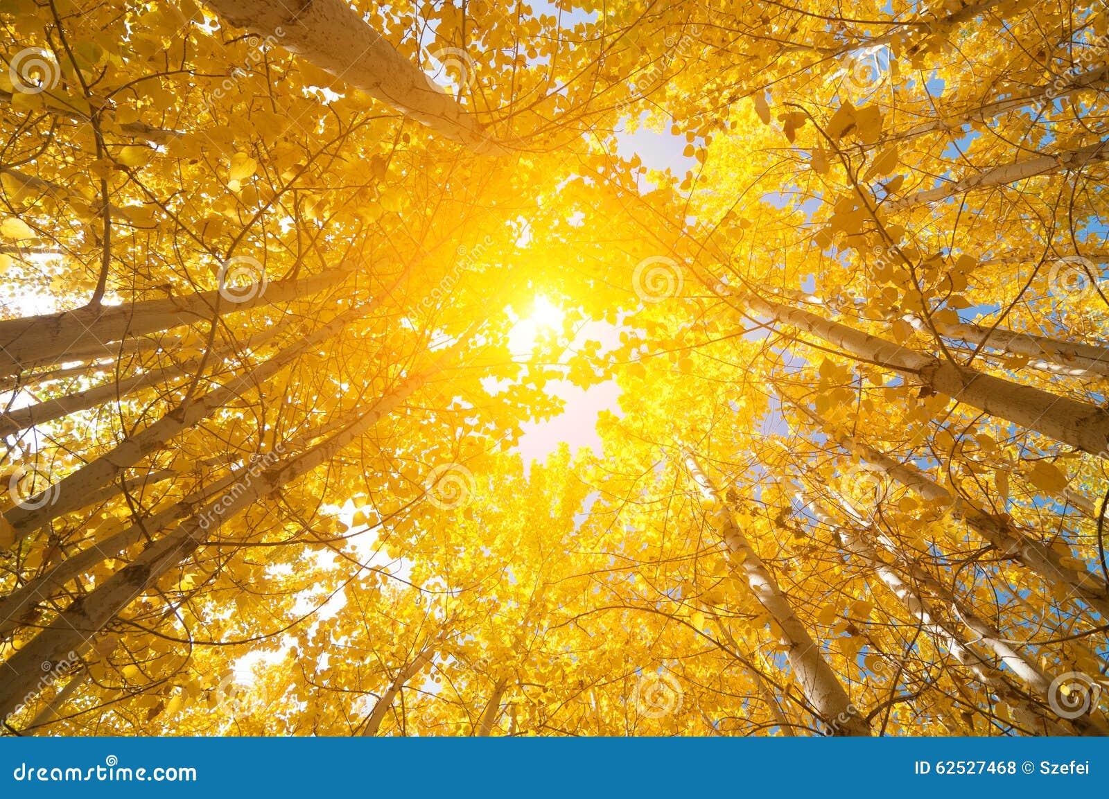 秋天亚斯本树