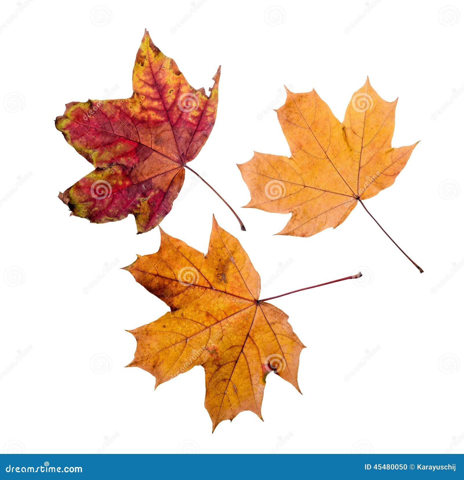秋天加拿大秋天留下槭树