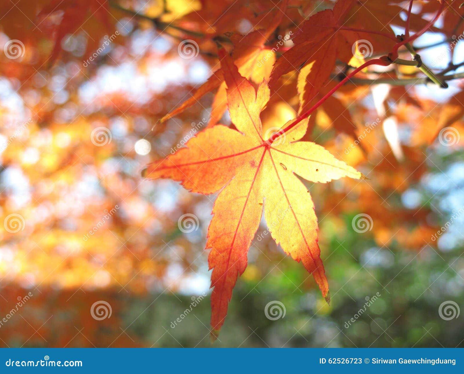 秋天叶子颜色在广岛