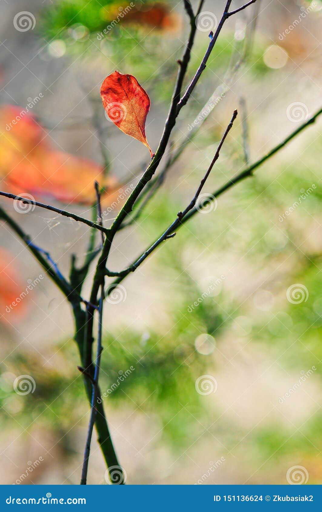 秋天唯一红色叶子背景