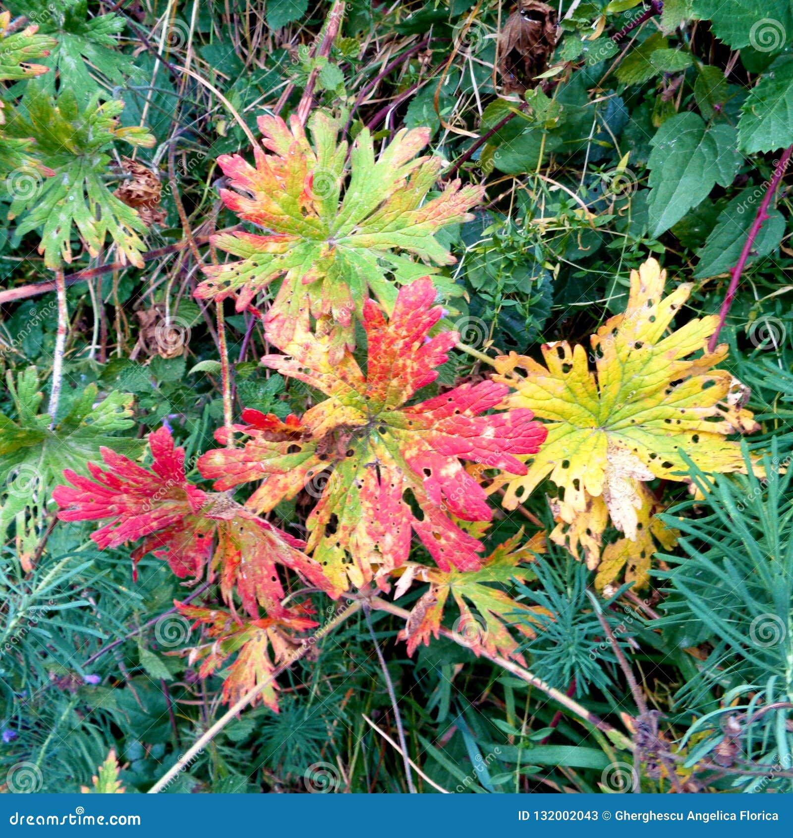 秋天多彩多姿的叶子在草落