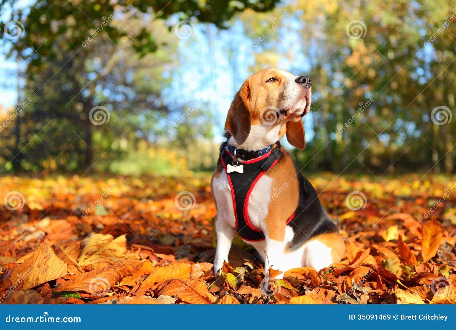 秋天小猎犬狗
