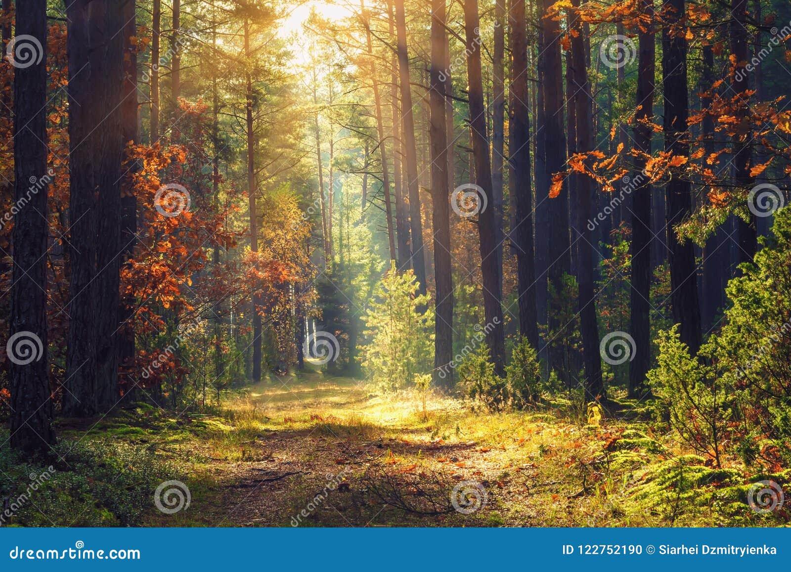 秋天报道的划分为的森林地面横向留下黄色 在树的五颜六色的发光在光束的叶子和草 惊人的森林地 风景秋天