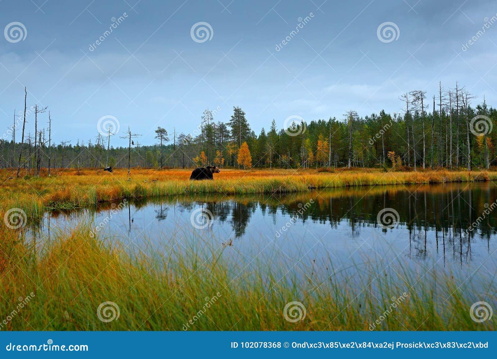 秋天树和湖有熊的 走在有秋天颜色的湖附近的美丽的棕熊 在自然木头,蜂蜜酒的危险动物