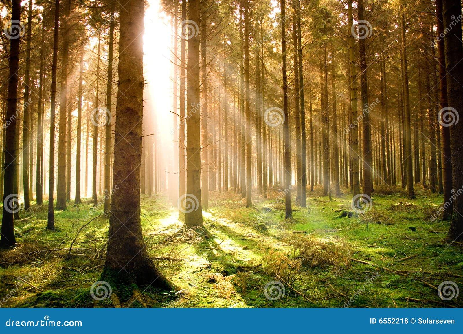 秋天森林杉木