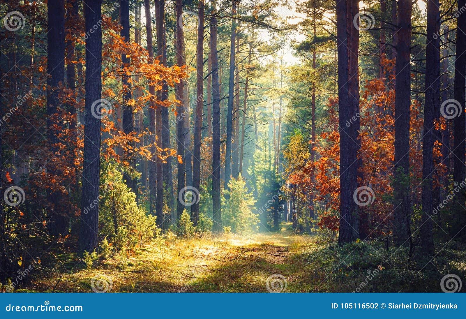 秋天森林自然 生动的早晨在有太阳的五颜六色的森林通过树分支发出光线 自然风景与阳光的