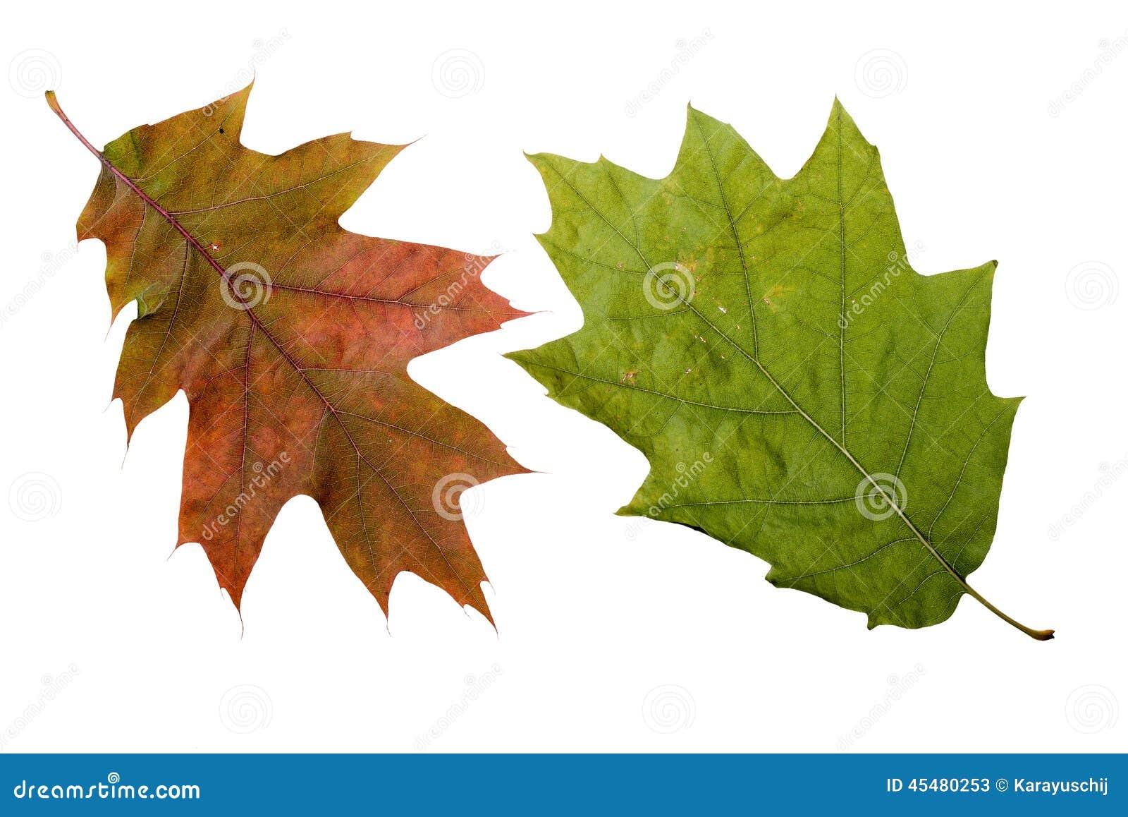 秋天橡木叶子