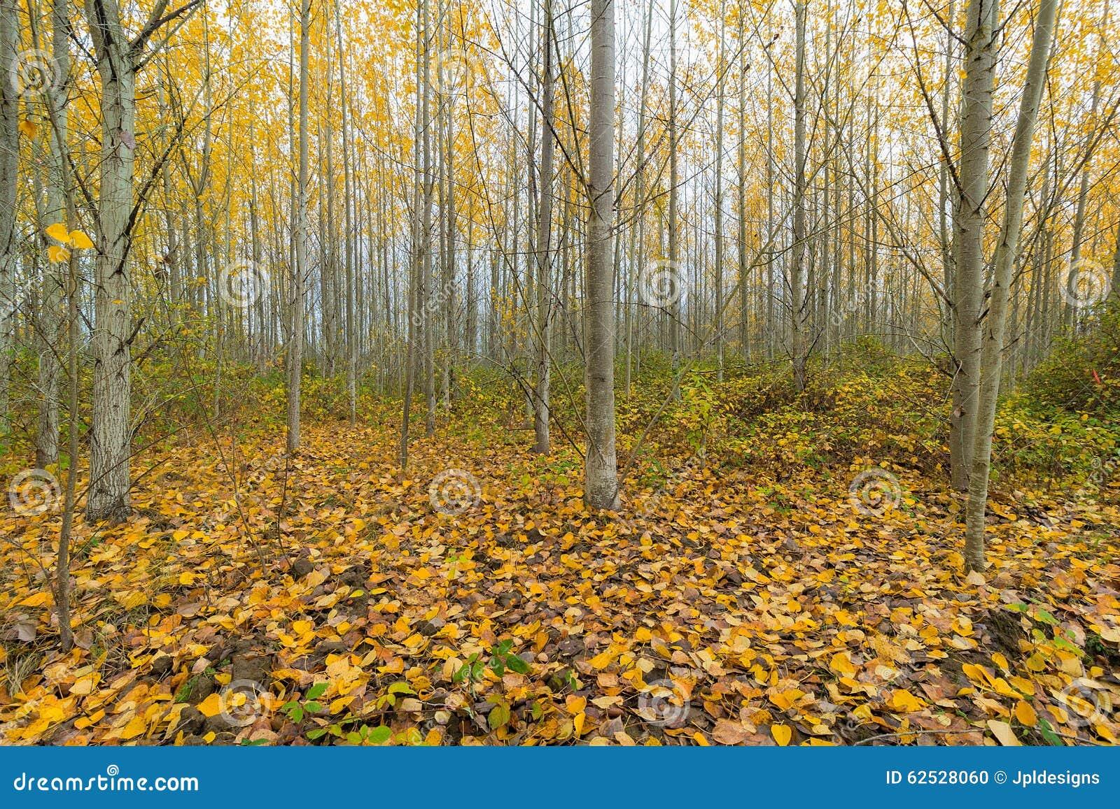 秋天的白扬树树丛