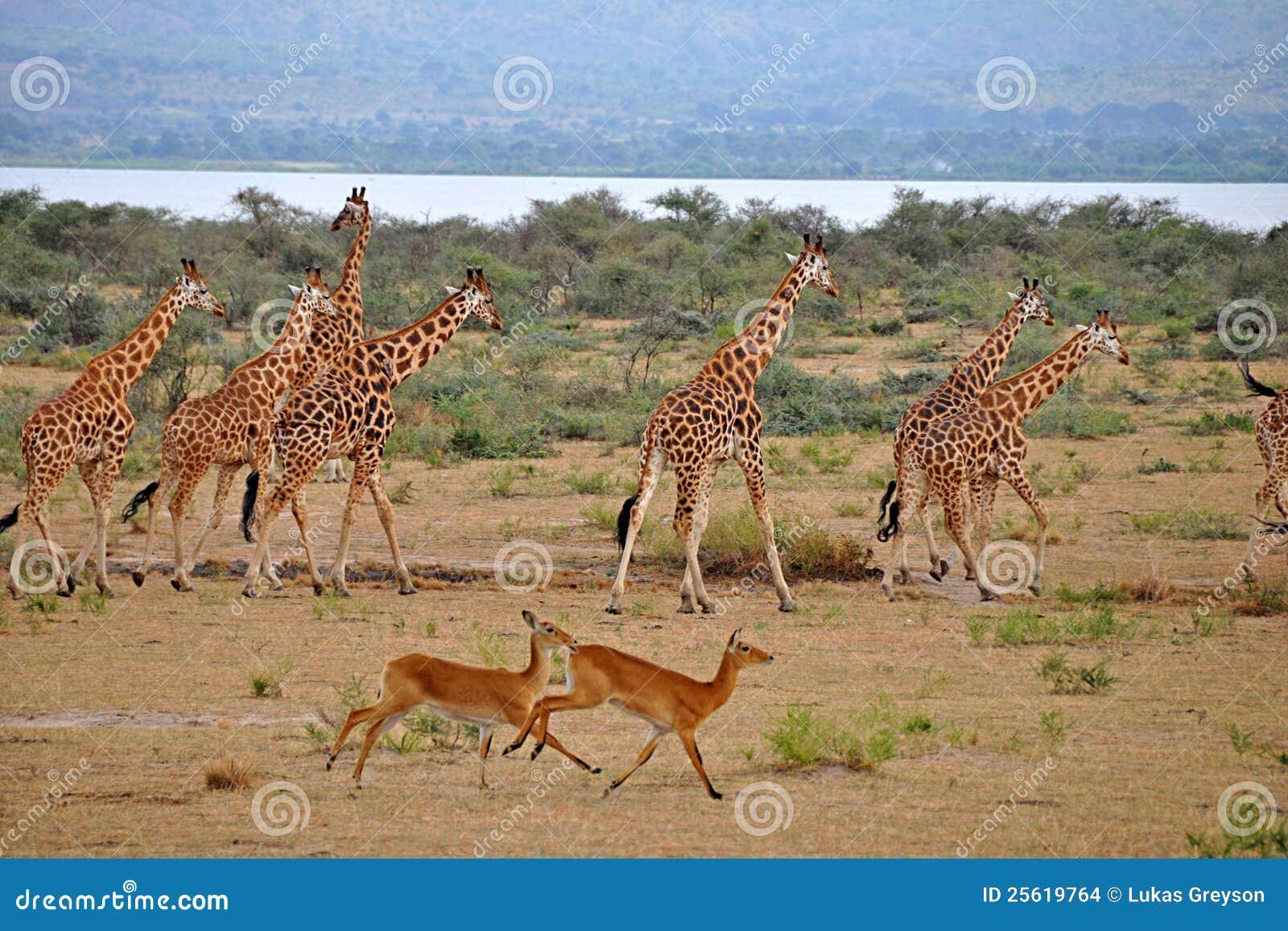 秋天瞪羚长颈鹿murchison运行ugan