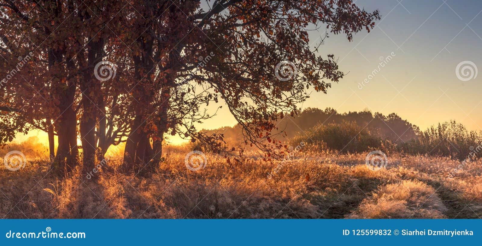 秋天自然无危险10月早晨全景风景  在金黄草的大树在阳光下 秋天自然风景