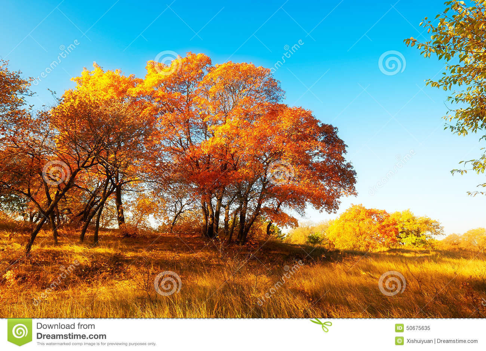 Download 秋天金黄槭树 库存图片. 图片 包括有 槭树, 蓝绿色, 的treadled, 横向, 照片, 阳光, 汉语 - 50675635