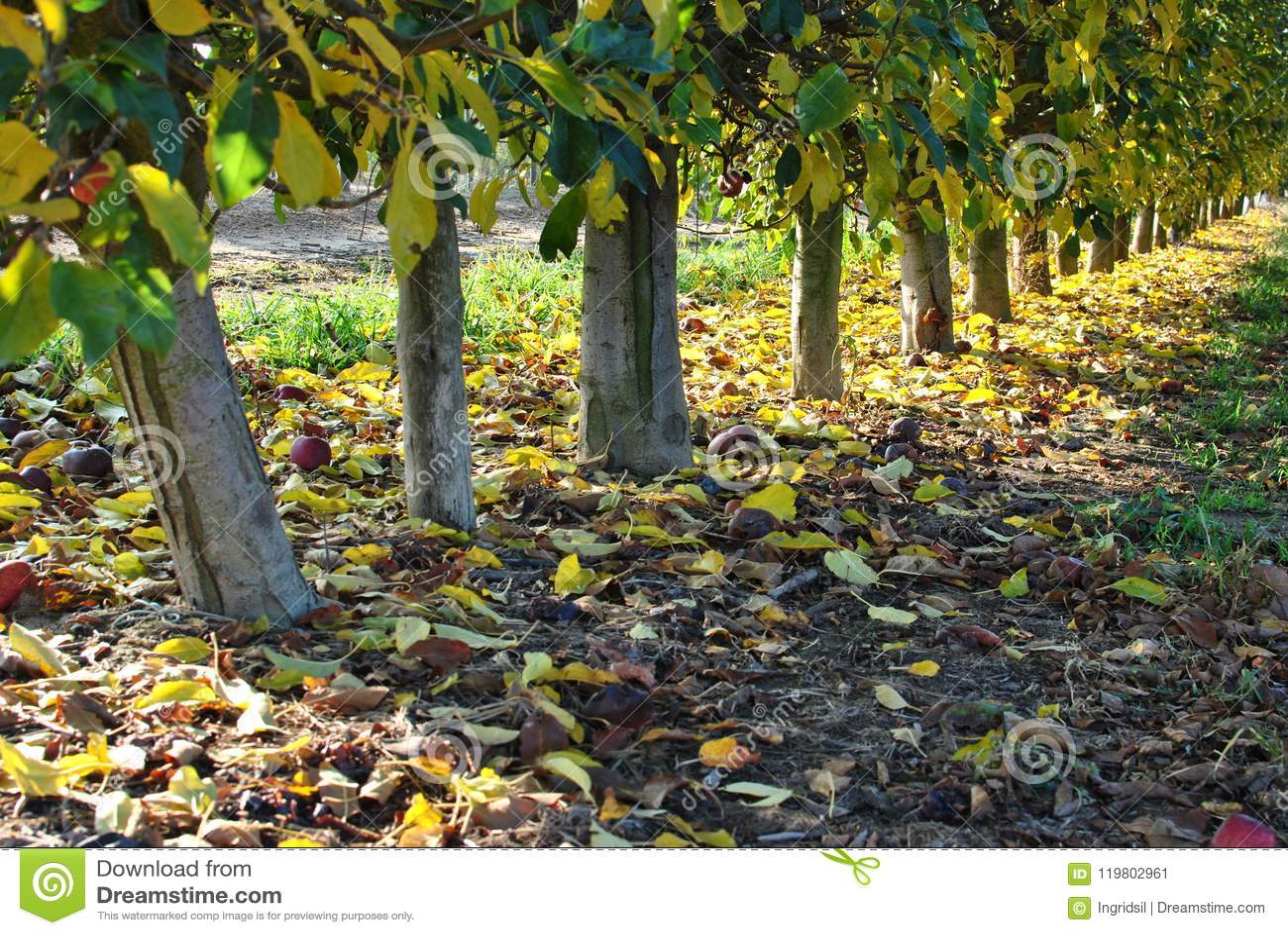 秋天 划分为的黄色叶子