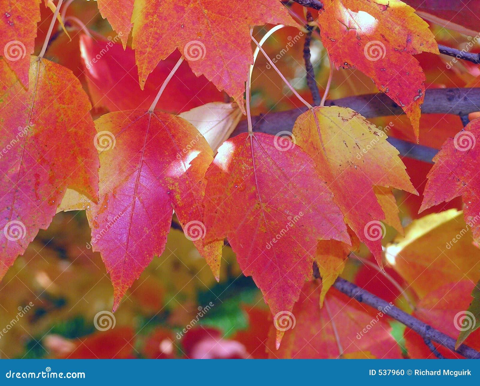 Download 秋天folliage 库存照片. 图片 包括有 金黄, 酸疼, 结构树, brander, 颜色, 季节, 红色 - 537960