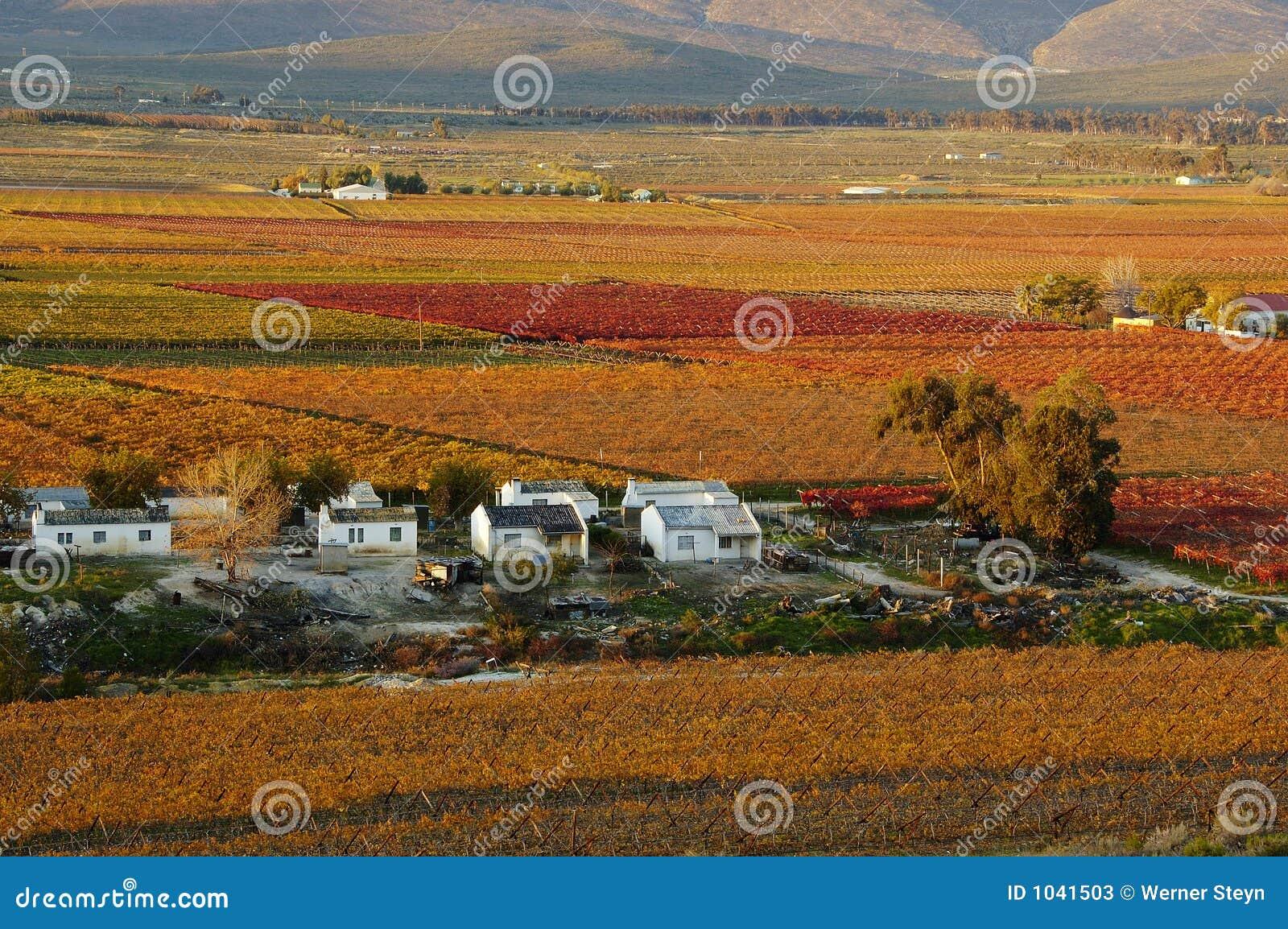 秋天vineyards30