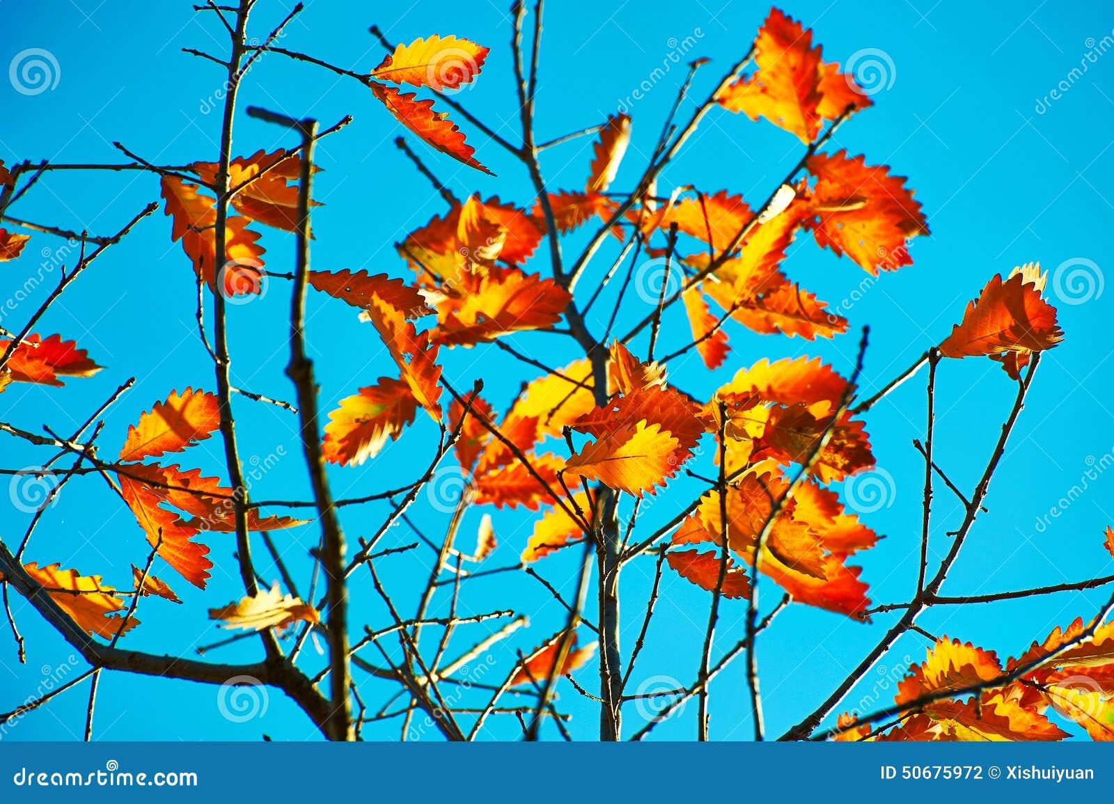 Download 秋季叶子和蓝天 库存照片. 图片 包括有 槭树, 蓝色, ,并且, 人们, 汉语, 森林, 红色, 横向 - 50675972