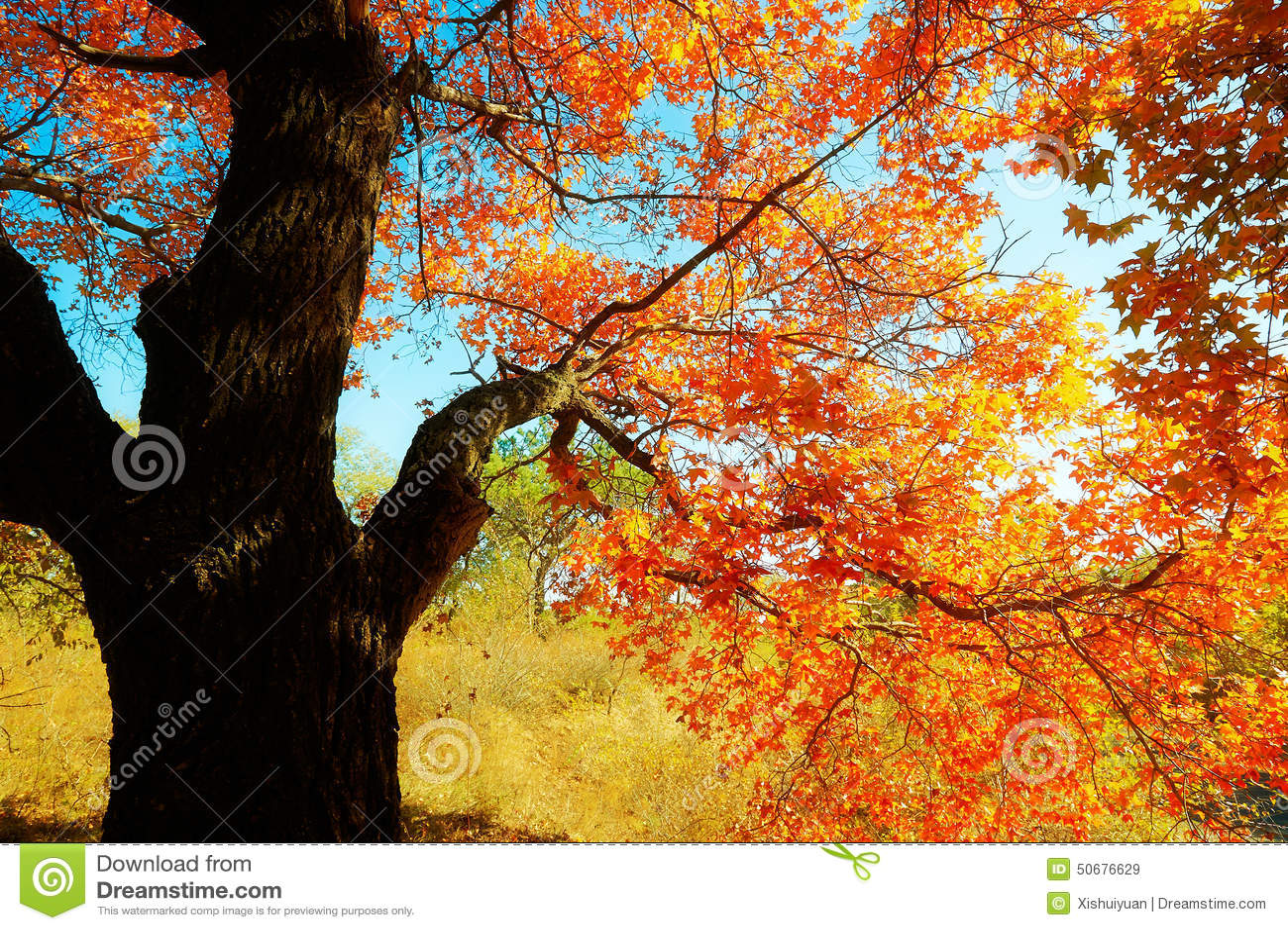 Download 秋季槭树离开风景 库存图片. 图片 包括有 金黄, 阳光, 格言, 画廊, 自动机, 充气救生艇, 红色 - 50676629