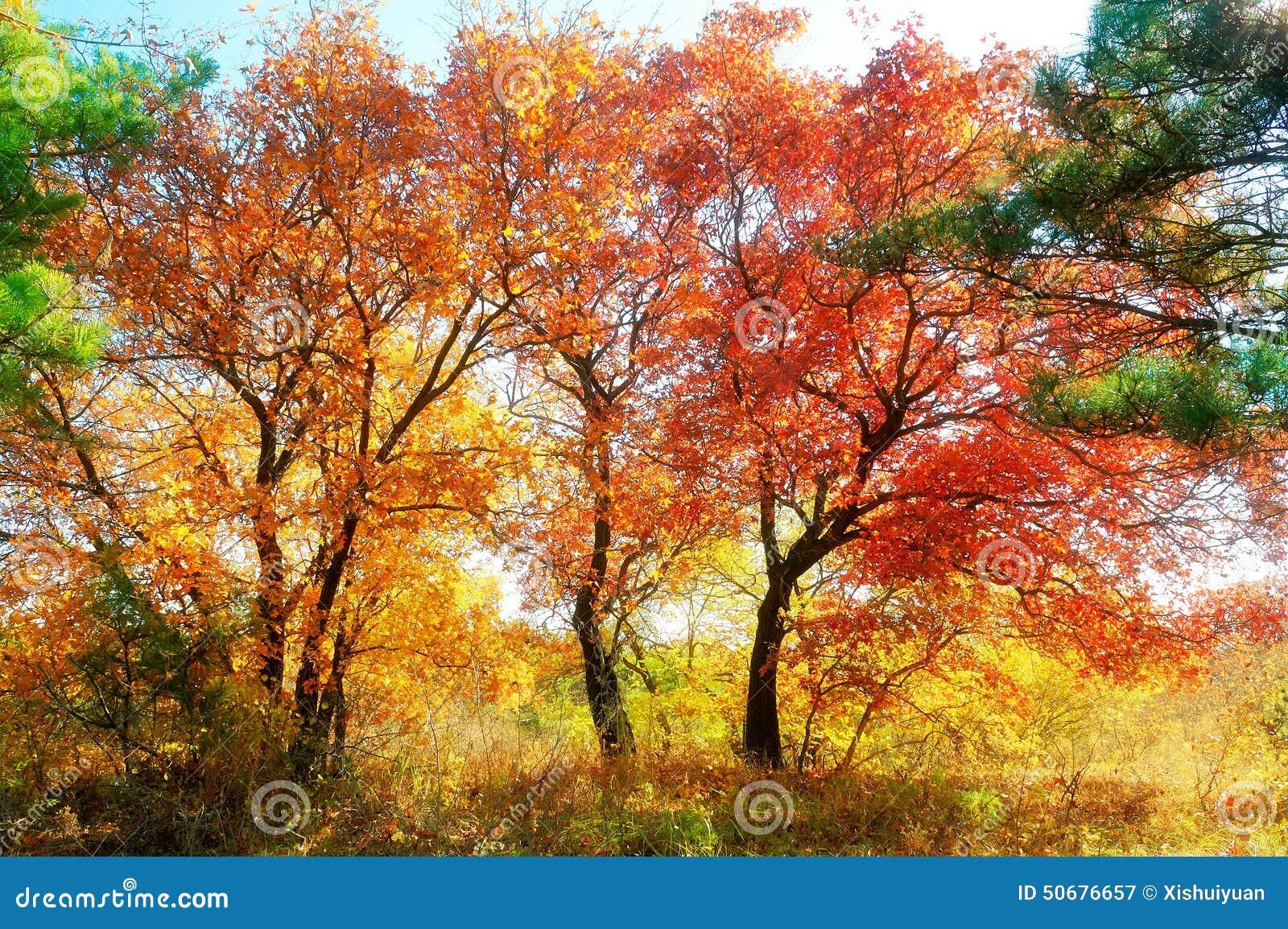 Download 秋季槭树离开风景 库存图片. 图片 包括有 座右铭, 蓝色, 格言, 自动驾驶仪, 槭树, 单音, 蓝绿色 - 50676657